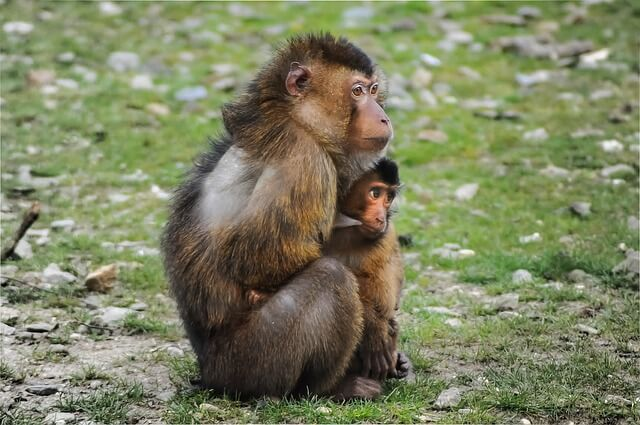 barbary-ape-384632_640