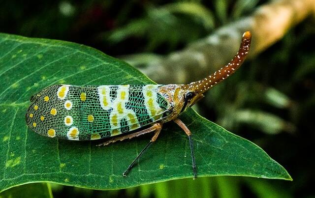 canthigaster-cicada-225811_640